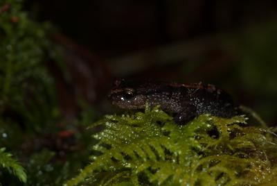 Western Red-backed Salamander 5532