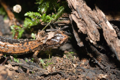 Western Red-backed Salamander 5497