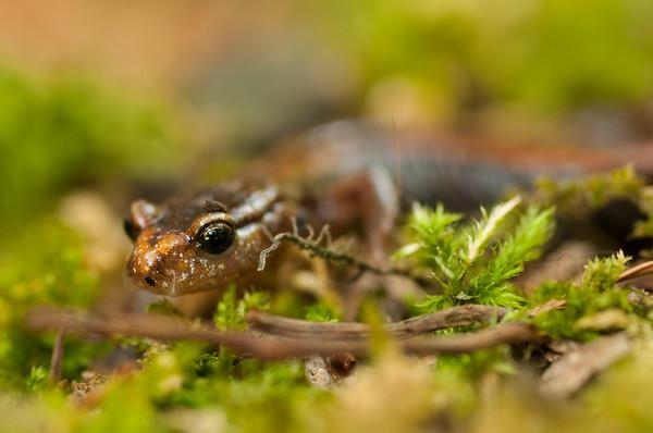 Western Red-backed Salamander 5139