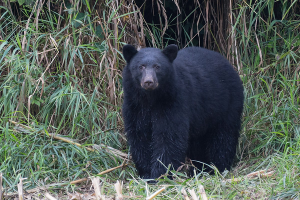 Black Bear emerging from the woods