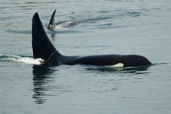 Killer Whales, Whitty's Lagoon,