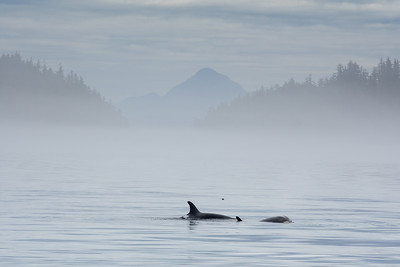 Orca Pod off Northern Vancouver Island
