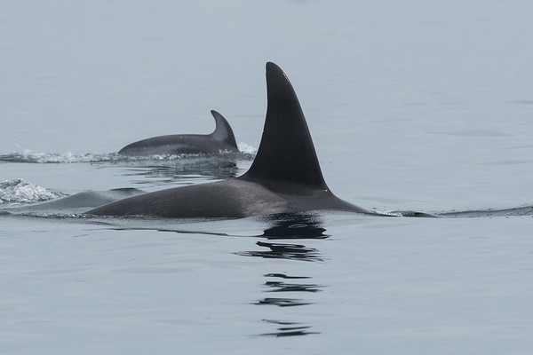 Orca Pod off Northern Vancouver Island accompanied by a Pacific White sided Dolphin