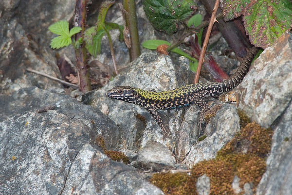 European Wall Lizard 7183