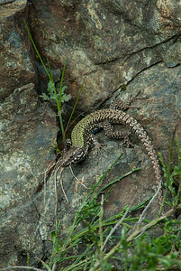 European Wall Lizard 7199