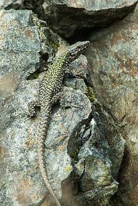 European Wall Lizard 7278