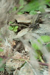 European Wall Lizard 7218