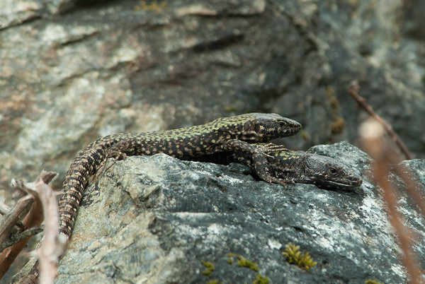 European Wall Lizard 7256