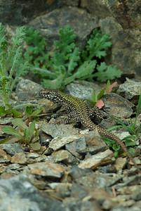 European Wall Lizard 7195