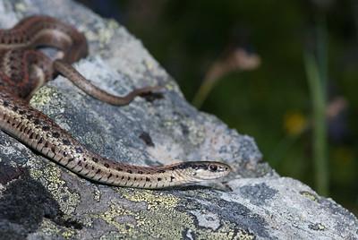 Northwestern Garter Snake 4457