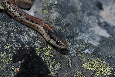 Northwestern Garter Snake 4430