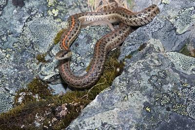 Northwestern Garter Snake 4499