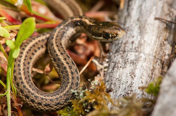 Northwestern Garter Snake 8861