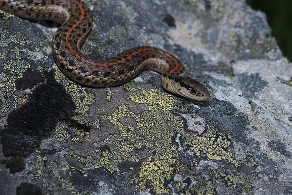 Northwestern Garter Snake 4448