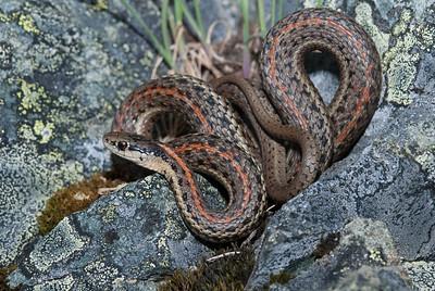 Northwestern Garter Snake 4512