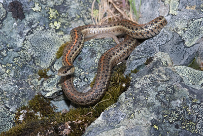 Northwestern Garter Snake 4502
