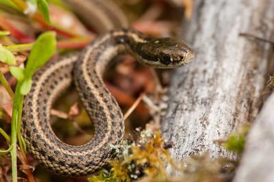 Northwestern Garter Snake 8822