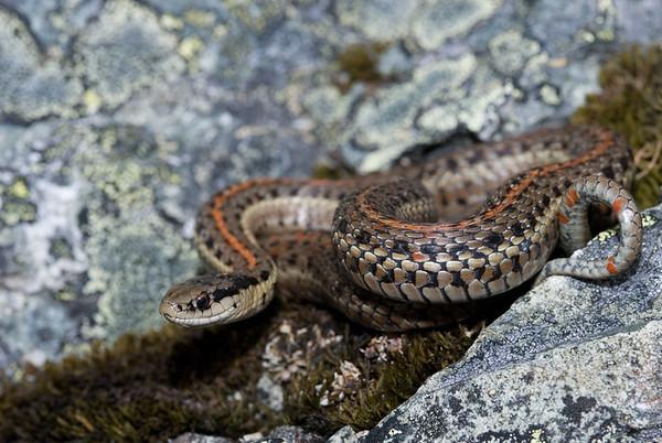 Northwestern Garter Snake 4469
