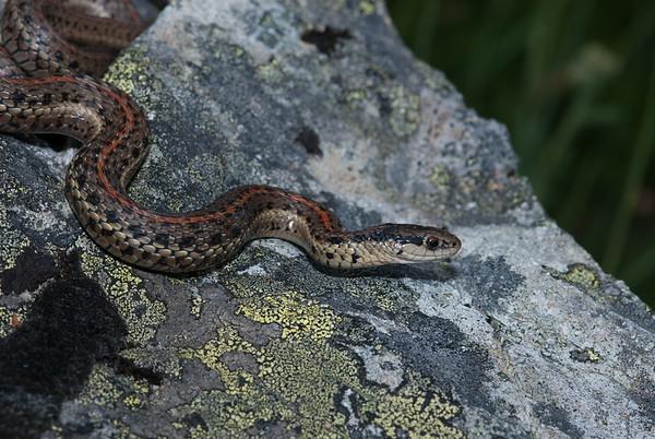 Northwestern Garter Snake 4435