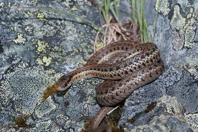 Northwestern Garter Snake 4485