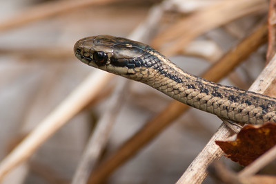 Northwestern Garter Snake 8809