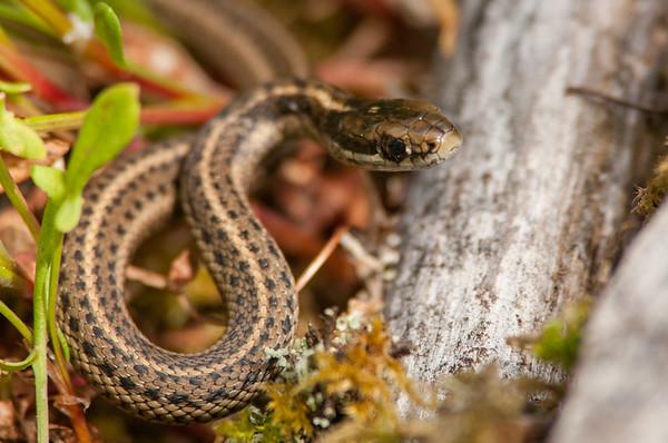 Northwestern Garter Snake 8832