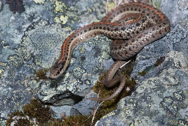 Northwestern Garter Snake 4479