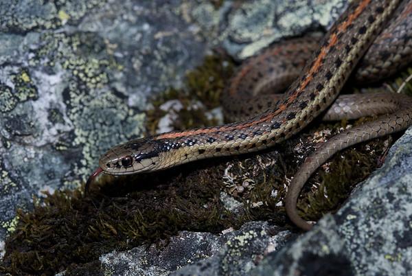 Northwestern Garter Snake 4492