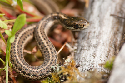 Northwestern Garter Snake 8824