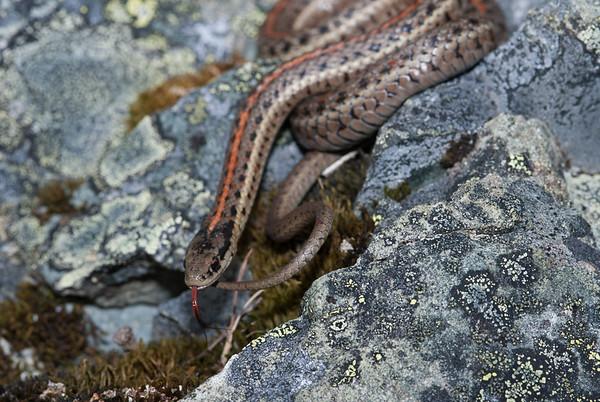 Northwestern Garter Snake 4486