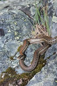 Northwestern Garter Snake 4498