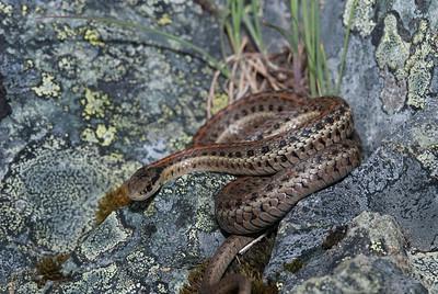 Northwestern Garter Snake 4483