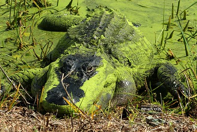 Brazos Bend Alligators