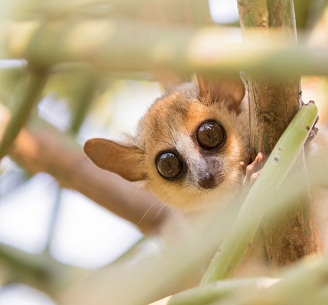 Gray-brown Mouse Lemur,  Microcebus griseorufus