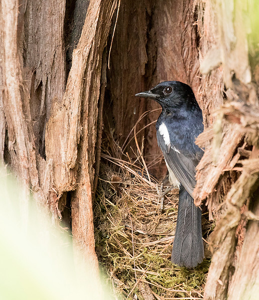 Madagascar Magpie-Robin, male at nest