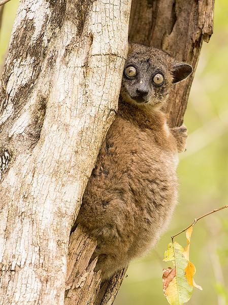Hubbard's Sportive Lemur,  Lepilemur hubbardorum