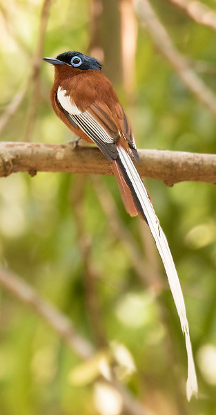Madagascar Paradise-Flycatcher, male