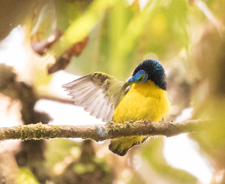 Yellow-bellied Sunbird-Asity, male