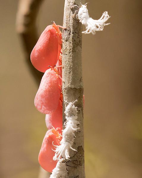 Madagascan Flatid Bug, Phromnia rosea
