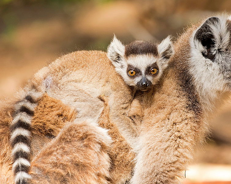 Ring-tailed Lemur, female with baby.