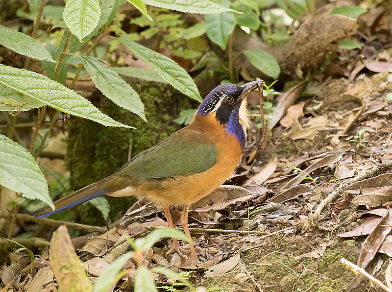 Pitta-like Ground-Roller, carrying food