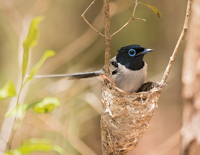 Madagascar Paradise-Flycatcher, male white morph entering nest