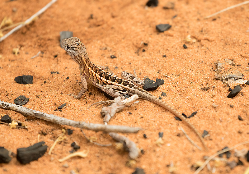 Three-eyed Lizard, Chalarodon madagascariensis