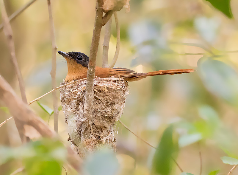 Madagascar Paradise-Flycatcher, female on nest
