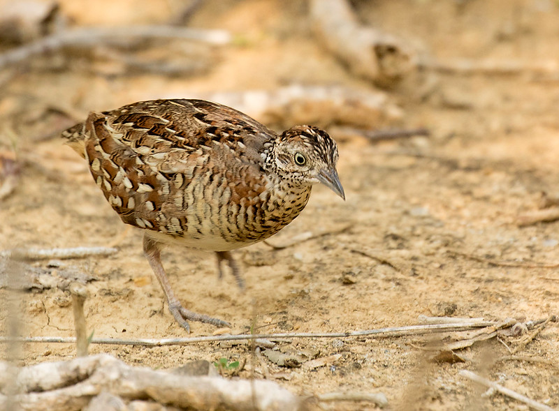 Madagascar Buttonquail, male