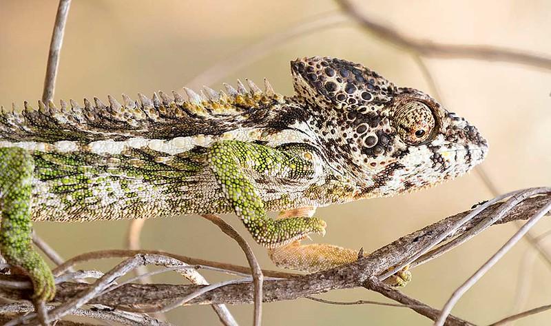 Warty Chameleon, Furcufer verrucosus