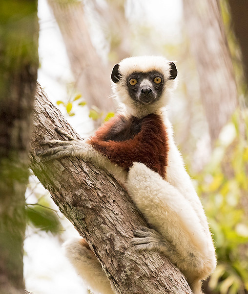 Coquerel's Sifaka