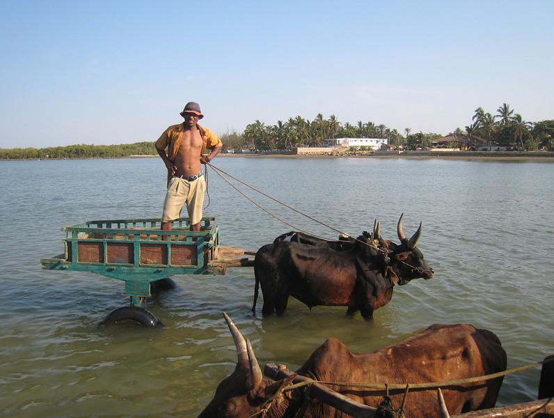 Zebu carts in shallow water, Toliara (Tulear), southwestern Madagascar.