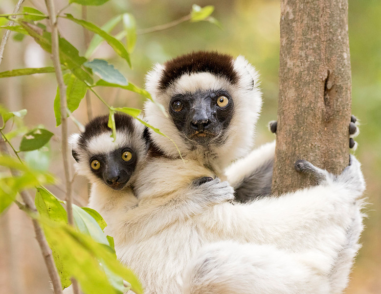 Verreaux's Sifaka, female with baby