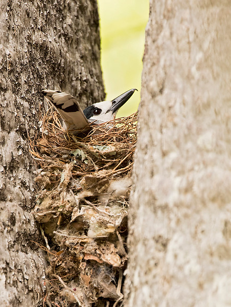 Hook-billed Vanga, on nest